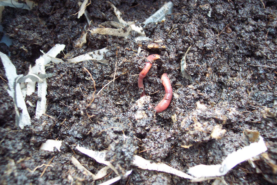 Some residents of the worm bin!