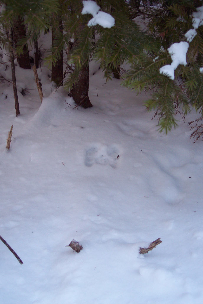 Can you spot the snowshoe hare tracks?