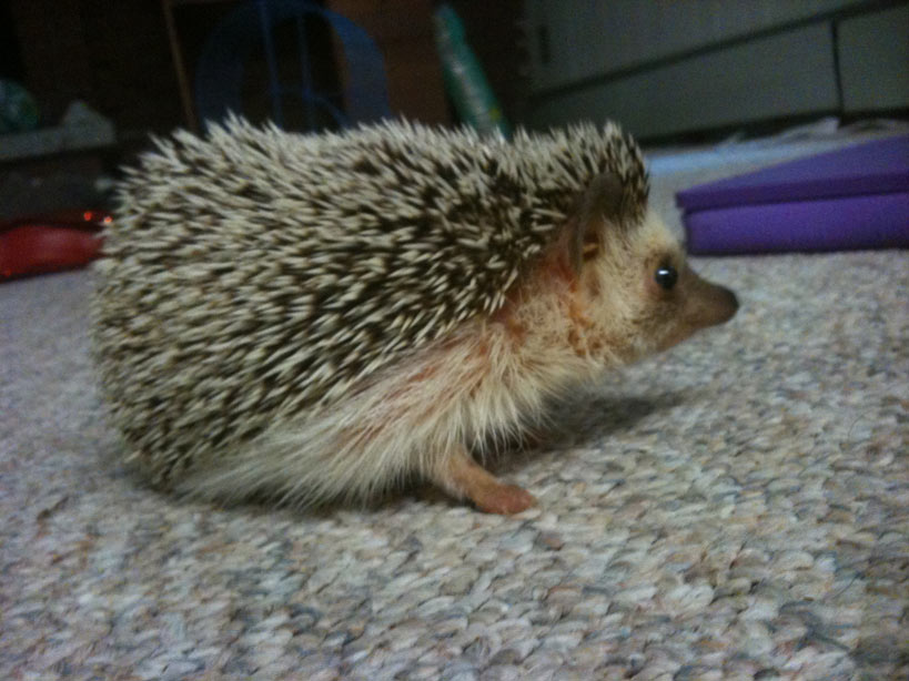 This is my friend's pet hedgehog, Hermione. I babysat for her one weekend, and she bit me. I haven't put that in a book yet, but I might some day.