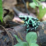 A poison dart frog in Costa Rica.