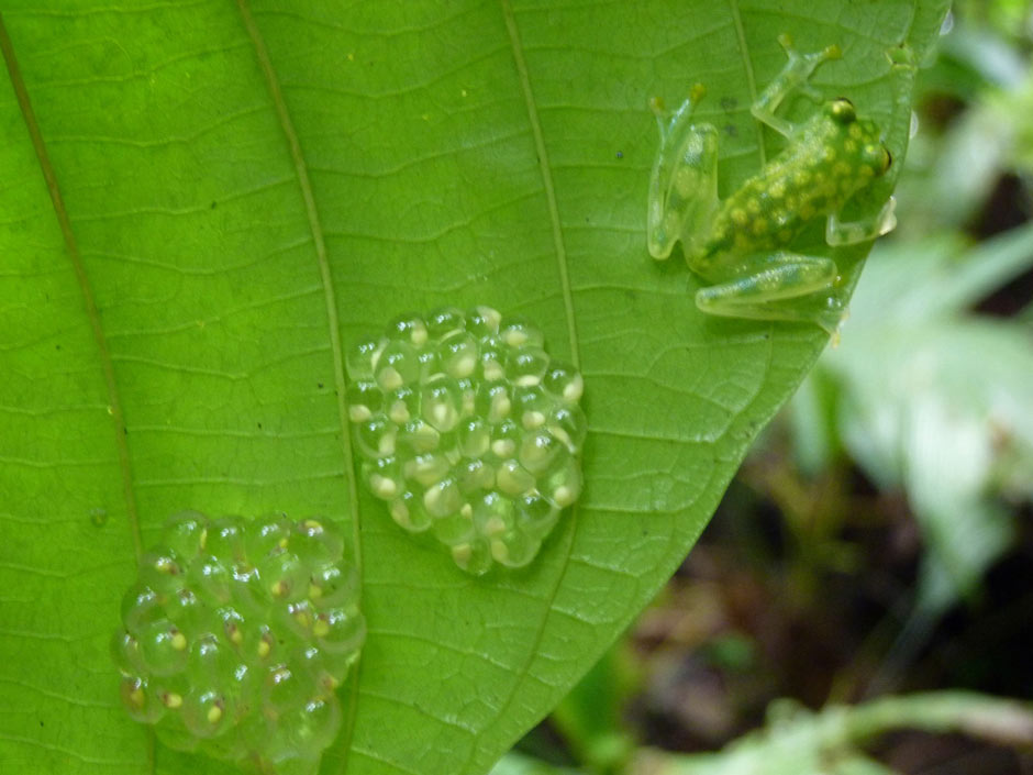 A glass frog protecting its eggs on the underside of a leaf.